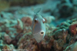 BD-150422-Maldives-7779-Sufflamen-bursa-(Bloch---Schneider.-1801)-[Boomerang-triggerfish.-Pungtryckarfisk].jpg